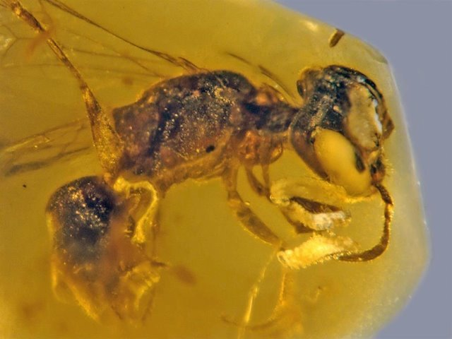 100 million year old bee with pollen