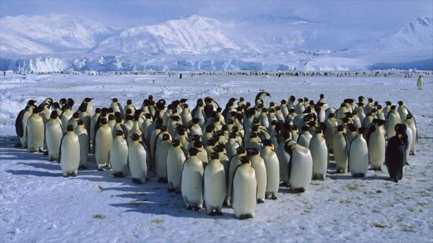 The population of penguins decreases dramatically, and in some cases the colonies were reduced to 77%