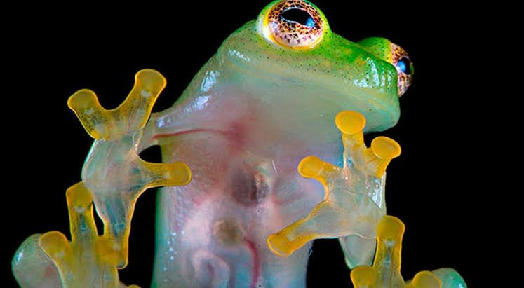 Crystal frogs reappear in Bolivia