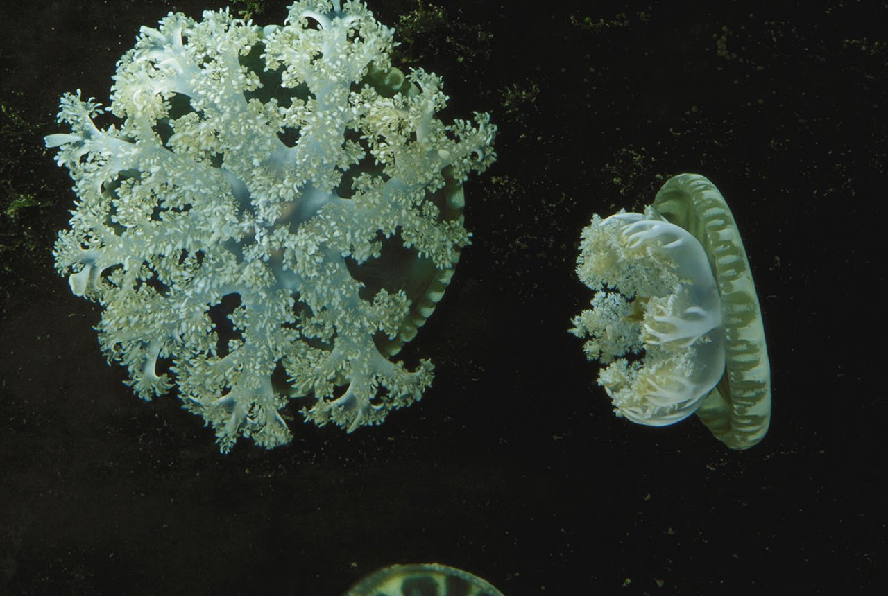 Unlike other jellyfish, those of the Cassiopea genus lack tentacles, so they cannot hunt like other congeners.