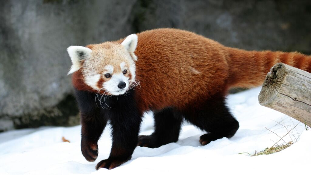 The red panda looks little like its cousins, the famous pandas