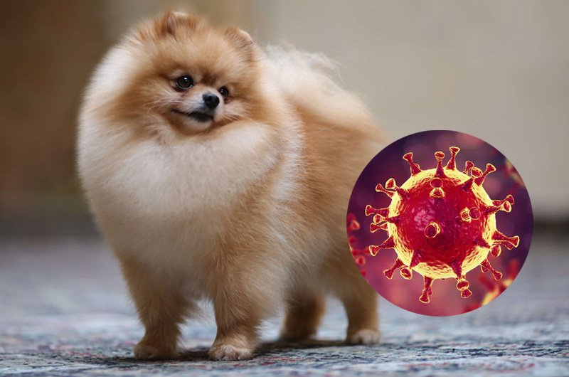 It was a Pomeranian that gave faint signs of infection, without much alarm.