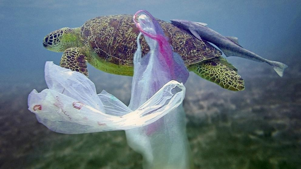 The attraction that turtles feel towards plastic can become an attraction ... fatal.