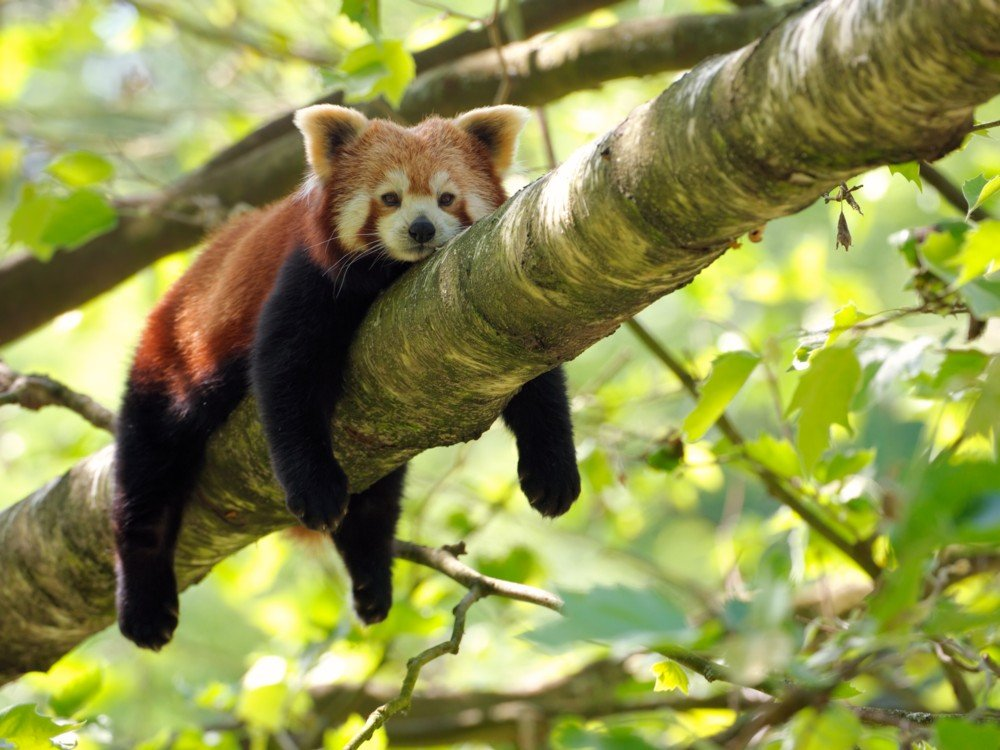The red panda actually has two species