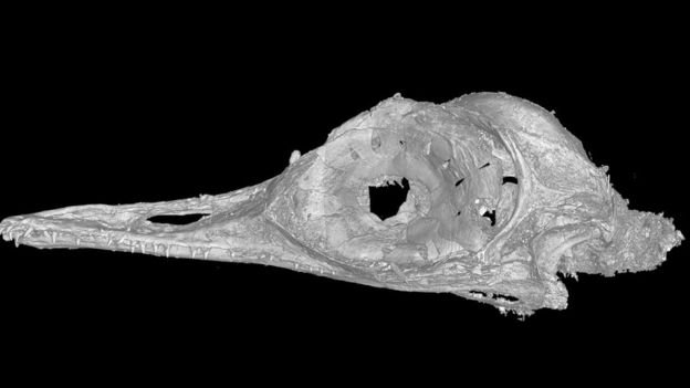 X-ray of the dinosaur skull found.