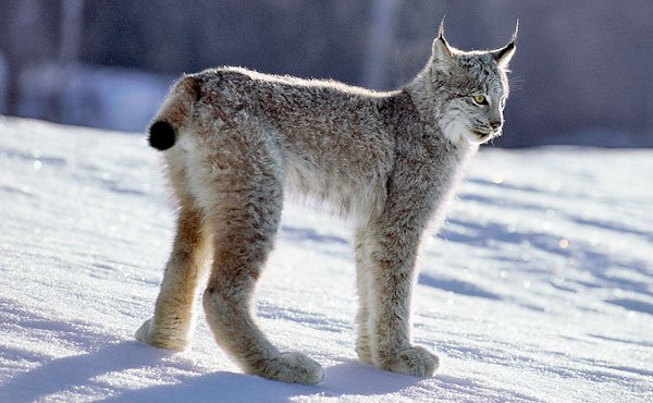 The habitat of the Canadian lynx is shrinking.