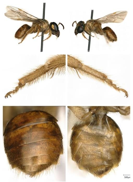 These are the characteristics of the female (right) and male (left) of the Megalopta Amoena bees.