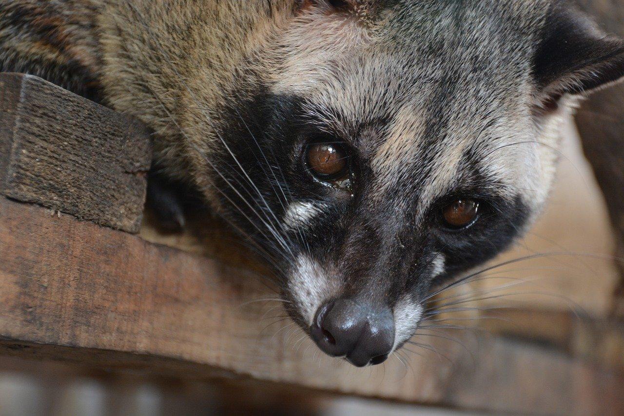 wild animals - civet