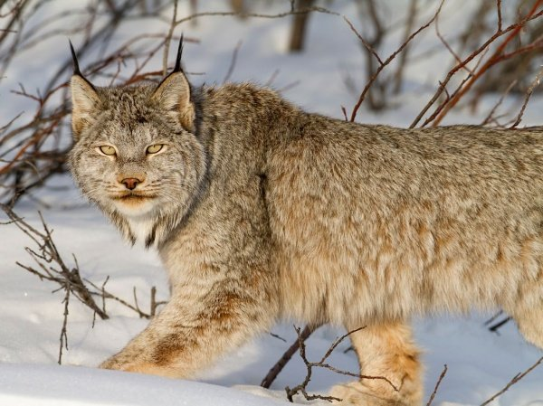 The Canadian lynx is in danger. Who wouldn't miss this look?