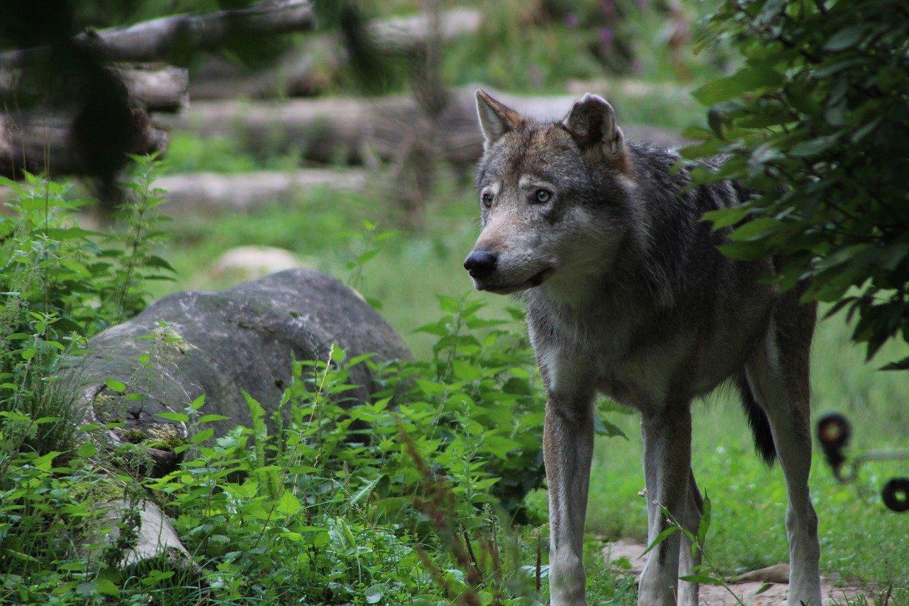 wild animals - gray wolf