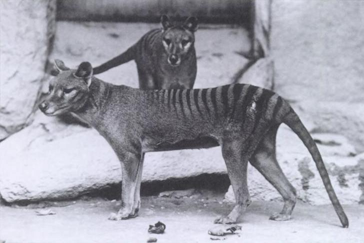 The video of the last Tasmanian tiger