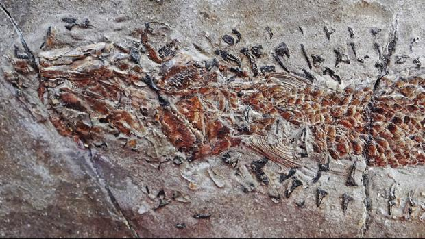 The fossil of an octopus that attacks its prey, almost nothing: 200 million years ago.