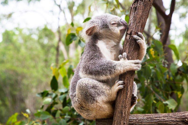 Why do koalas lick trees?