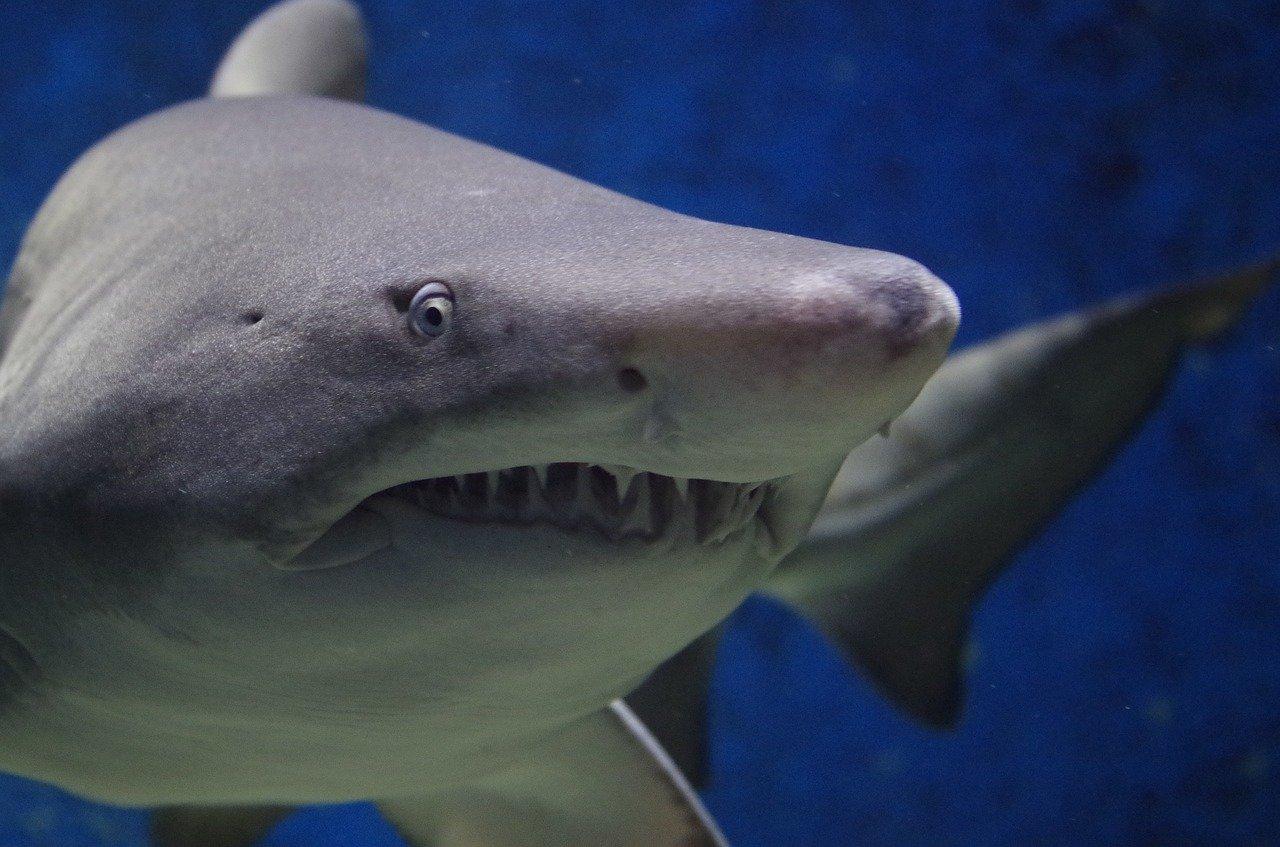 Sharks damage fiber optic cables