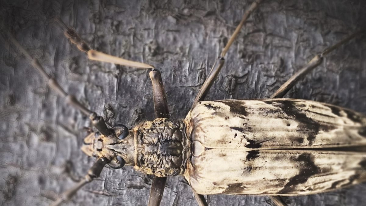 The beetle that survives in volcanic areas, the Neocerambyx gigas.