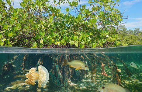 Life thrives in mangrove formations.