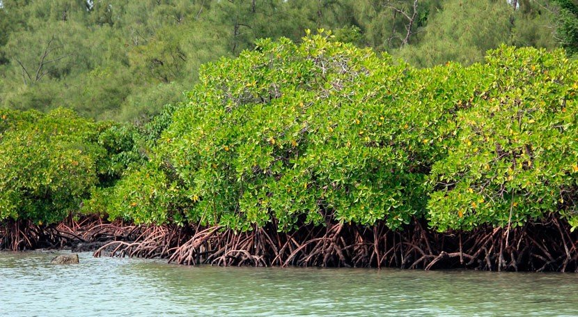 Mangroves will disappear by 2050 unless urgent action is taken to prevent the sea from rising.