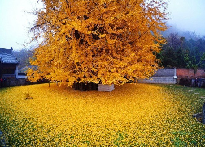Ginkgo biloba have been tested for their ability to delay aging.