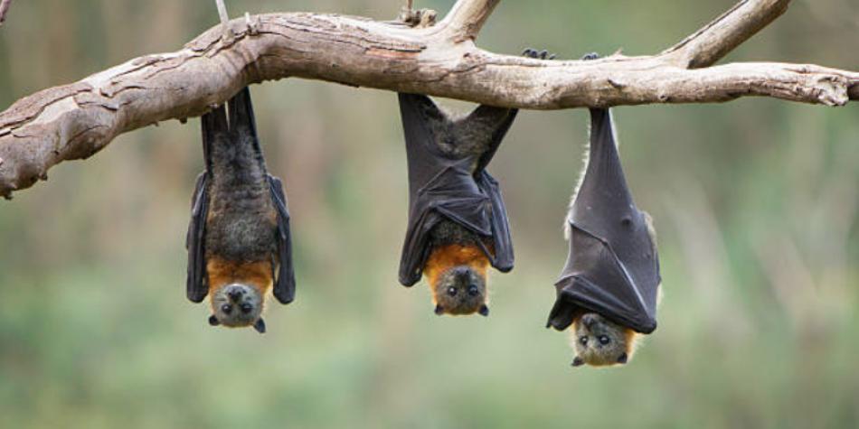 Bat superpowers make it a very interesting mammal.