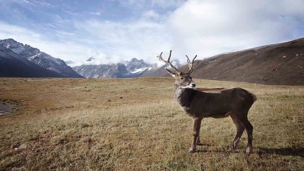 Caribou in the Arctic