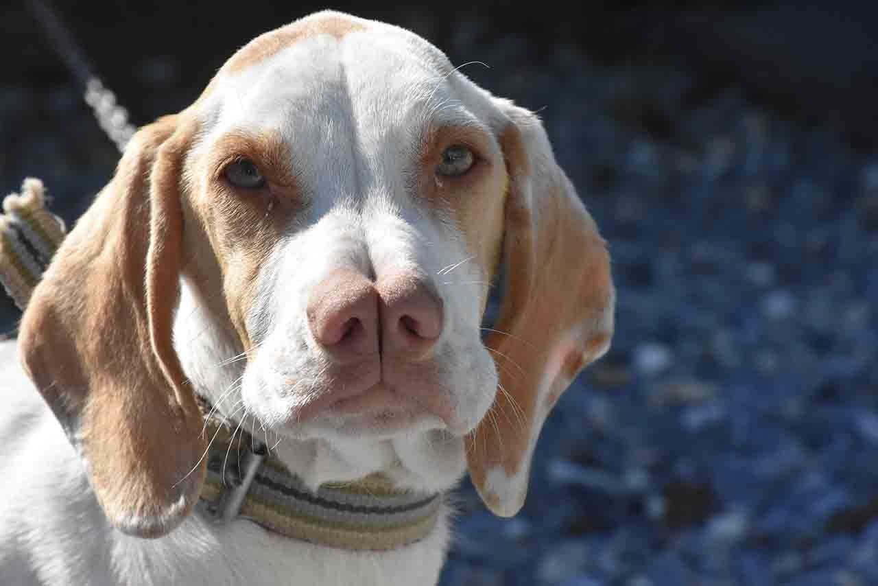 Turkish dog breeds