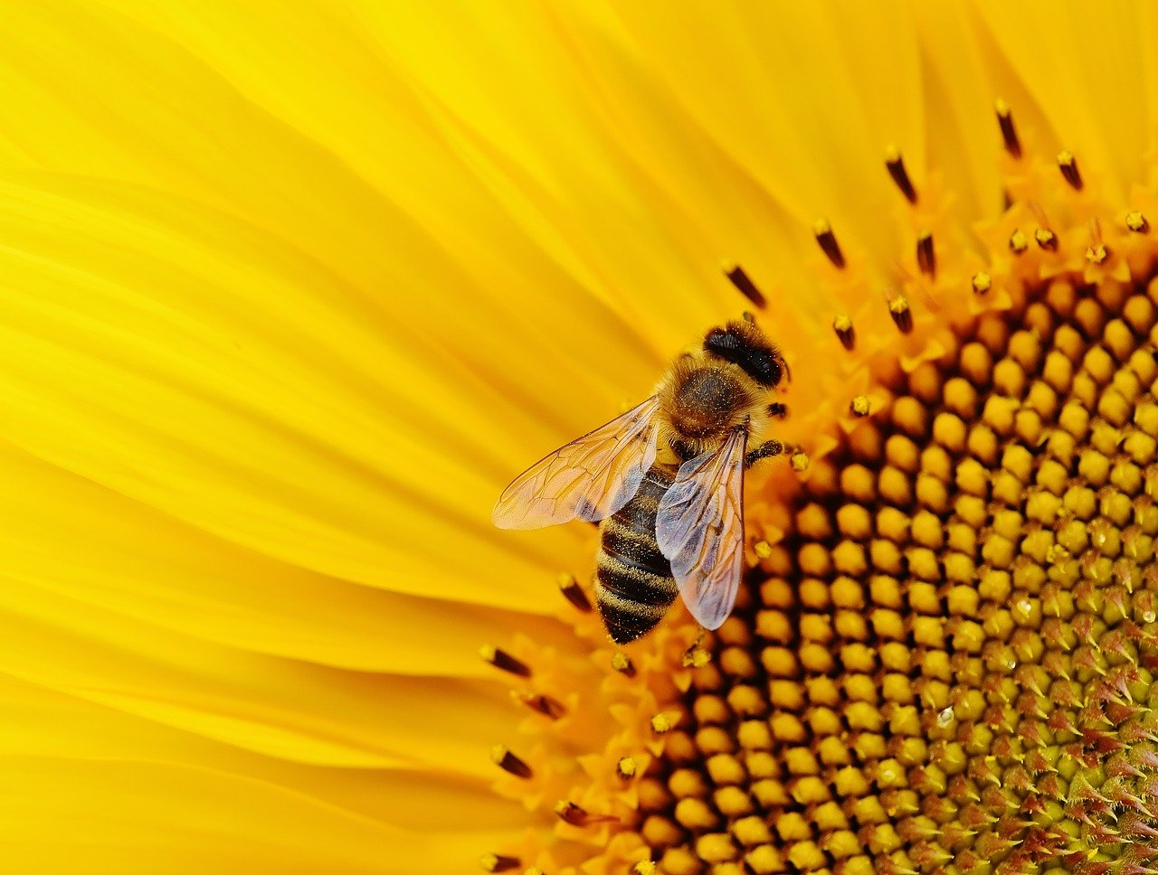Bees are involved in the disappearance of insects