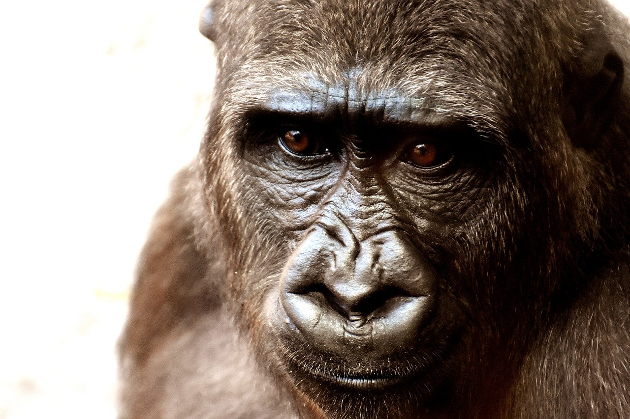 Cross River Gorillas are not extinct