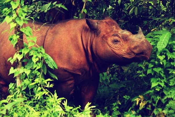 This scientific project seeks to regain an extinct breed of rhino