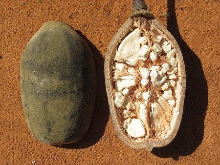 The baobab fruit is becoming a source of income for many Moroccan families.