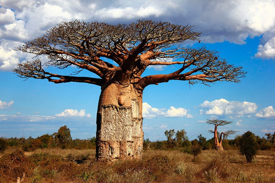 The amazing baobab tree and its fruits