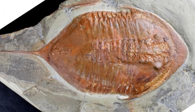 There are fossils in excellent condition that even preserve the eyes, like this one.