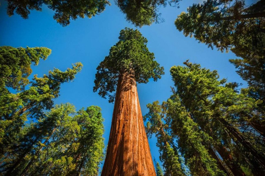Giant sequoias are majestic, ancient trees.