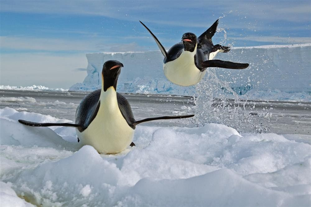 Emperor penguins come out of the water. You could say they miss flying.