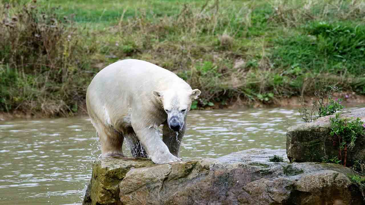 Extinction of the polar bear due to the loss of its habitat