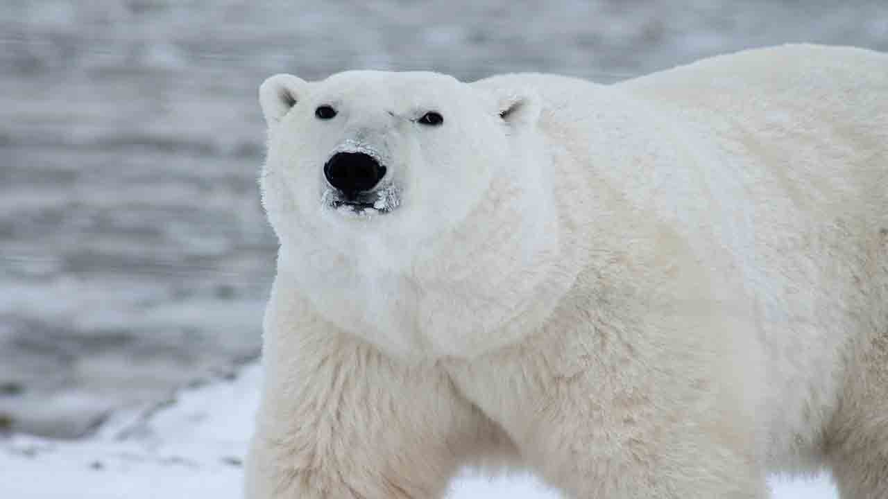 Avoid extinction of the polar bear