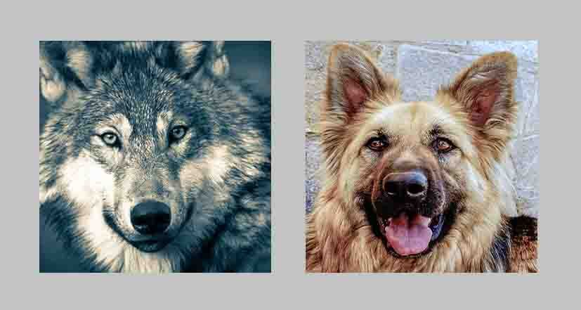 All breeds of dog and wolf are related