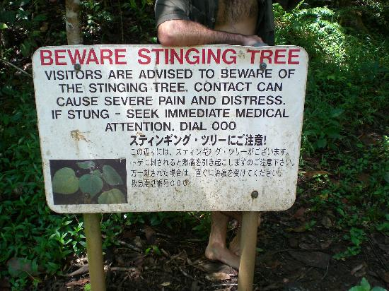 There are warning signs that warn of the dangers of this tree.