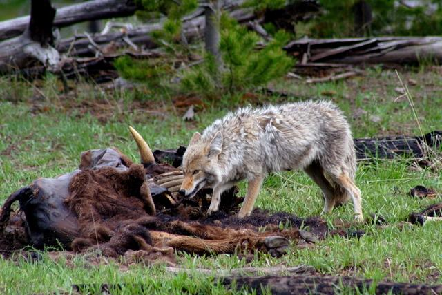 Coyotes eat everything. Meat, carrion, fruit. You survive.