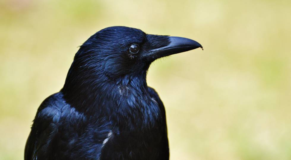 Ravens have primary consciousness in addition to developed intelligence.