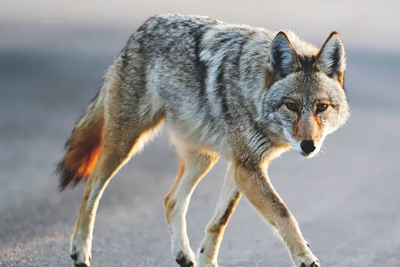 The dangerous expansion of the coyote