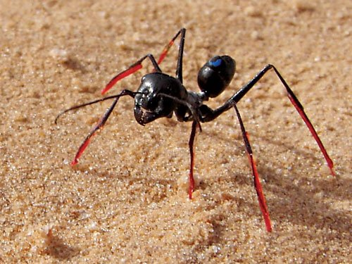 The theory was proven that ants used the step size to backward through stilts.