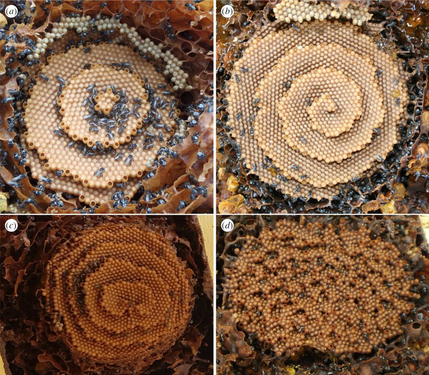 The bees that form artistic honeycombs, the Tetragula Carbonaria, create beauty out of chaos.