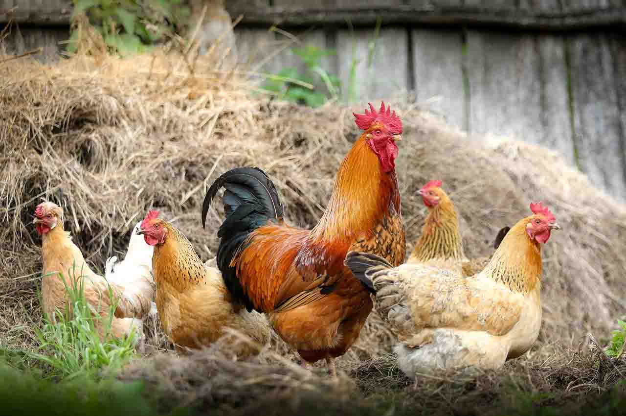 poultry