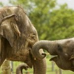 Blue-green algae killed elephants in Botswana