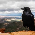 The intelligence of birds is emphasized in parrots and crows