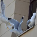 Seagulls adapted to the urban environment