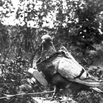 Carrier pigeons were great allies for the soldiers.