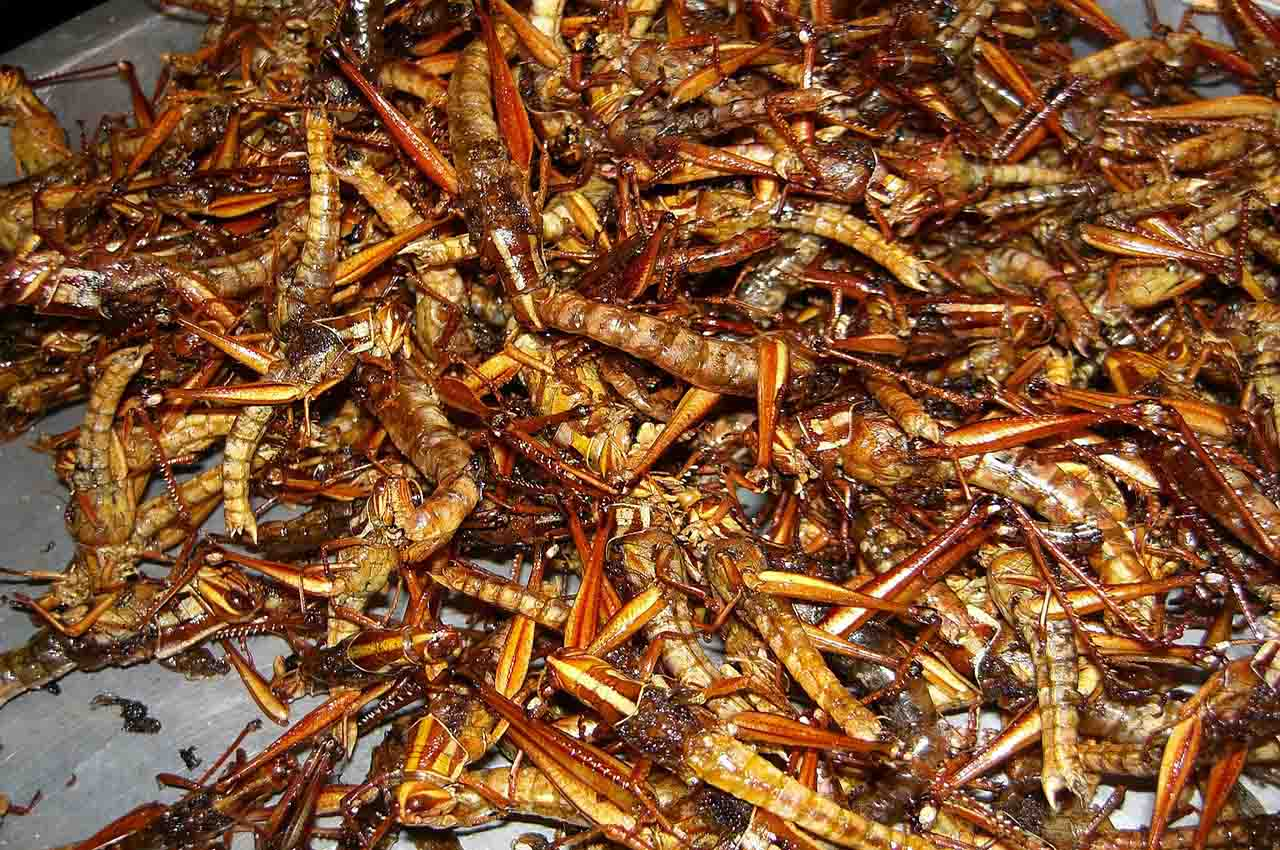 eat roasted insects