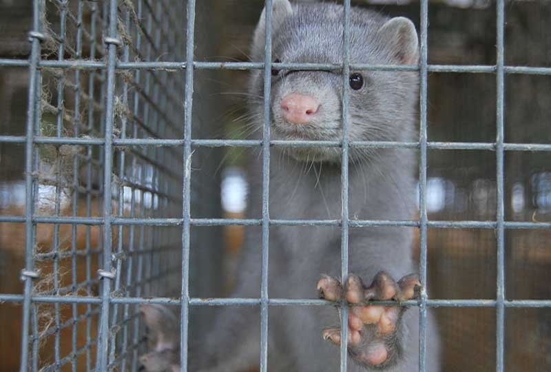 new strain of coronavirus carried by the mink