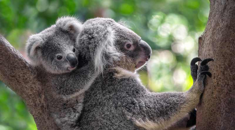 Koalas in the tree